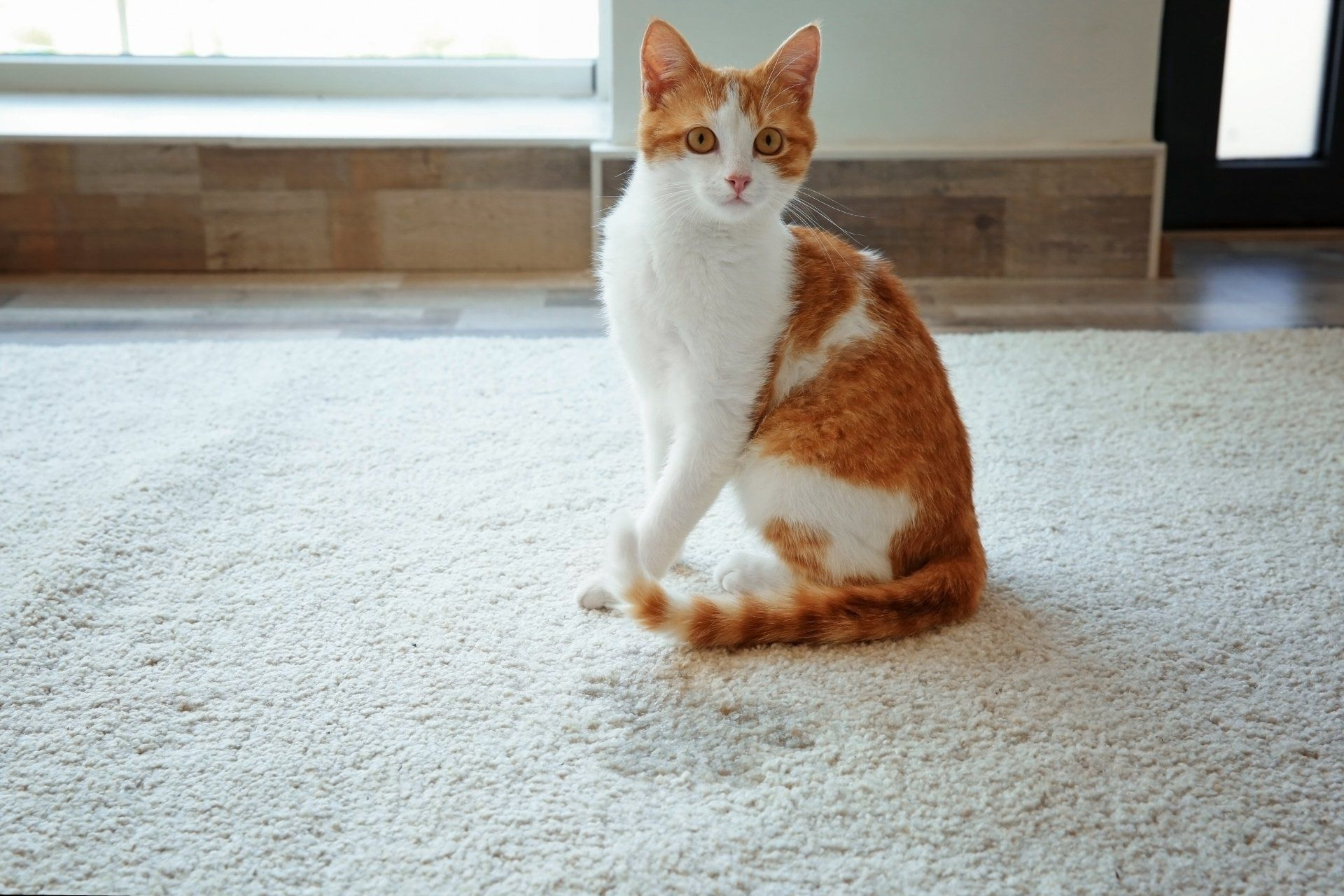 white and orange cat next to wet spot on carpet
